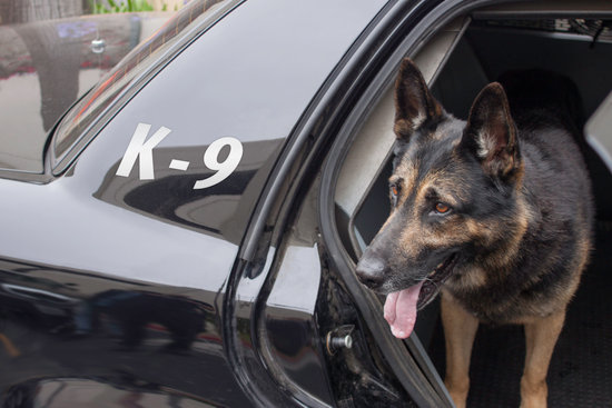 German Shepherd in the back of a K9 police car