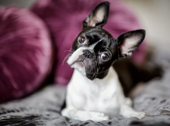 Boston terrier looking confused into a camera while laying on bed