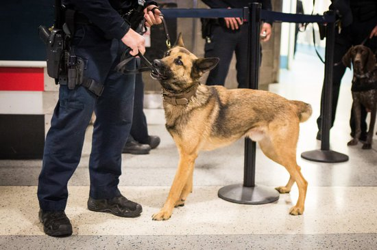 German Shepherd playing with its leather lead in an airport