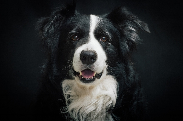 Collies are one of the best service dog breeds