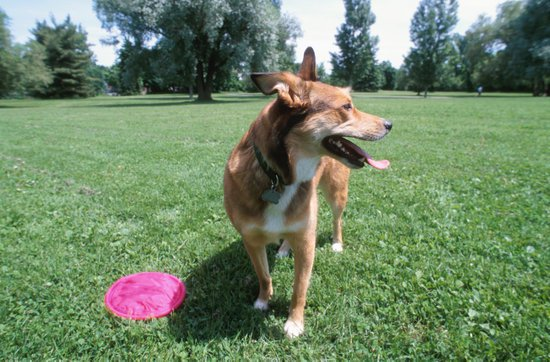 Brown Dog Playing Frisbee On A Summer Day In A Park