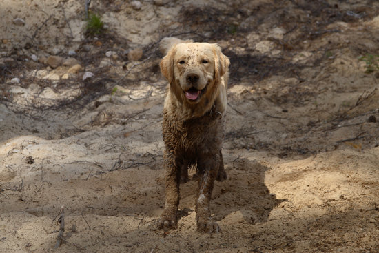 Guilty looking Golden Retriever Covered In Mud