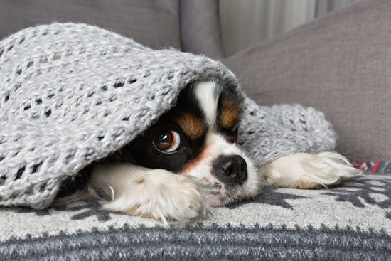 Spaniel under a blanket looking scared