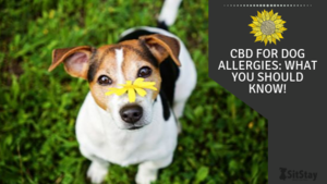 CBD for Dog Allergies: What You Should Know!