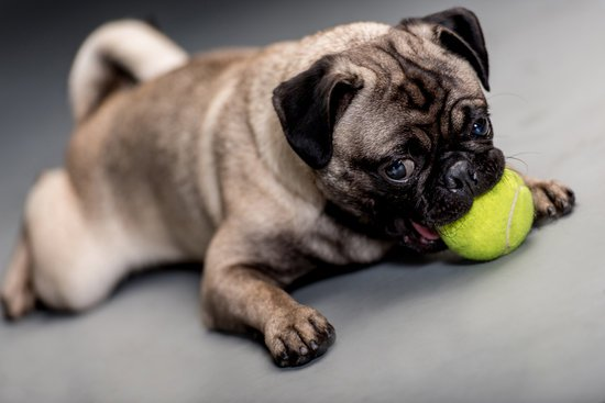 small pug chewing on tennis ball