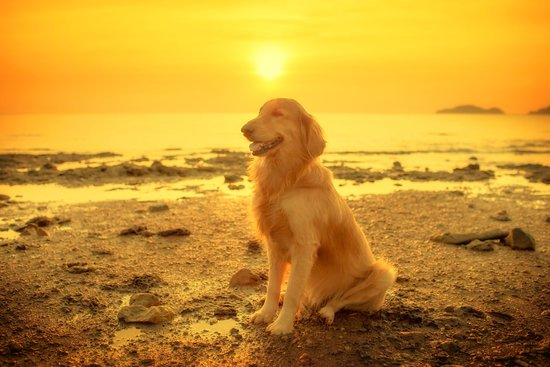 Golden retriever on a beach during a sunset