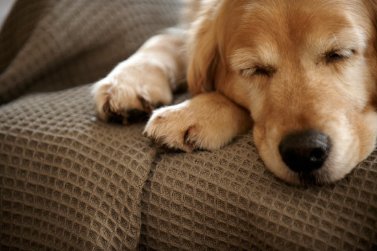 Golden retriever asleep on a brown couch