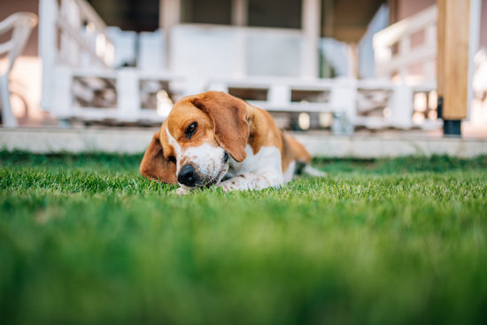 Why Do Dogs Bury Bones like this beagle in a grassy lawn