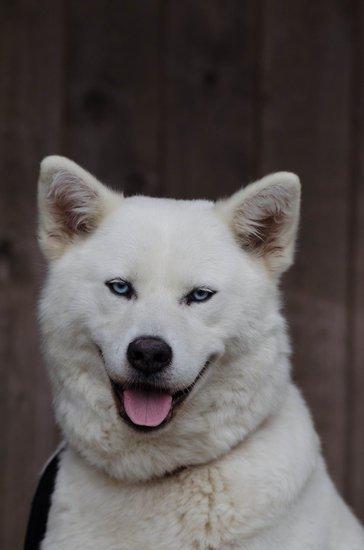 Cold weather dog breeds
