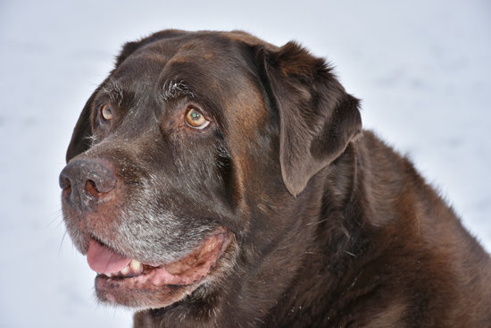 Old lab that is overweight