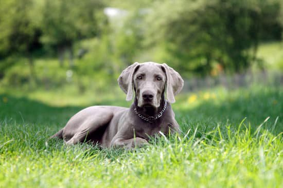 Weimaraner laying in a grassy field