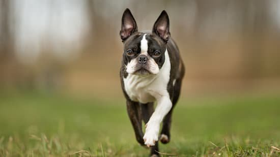 Boston Terrier Prancing through the grass