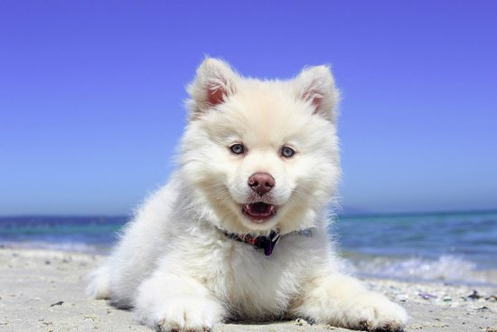Samoyed Smiling On A Beach With Water Behind them