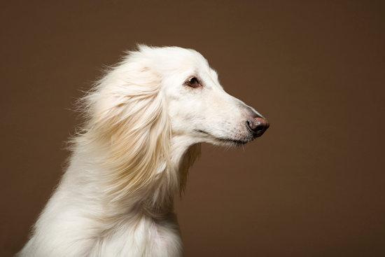 Hypoallergenic Afghan Hound