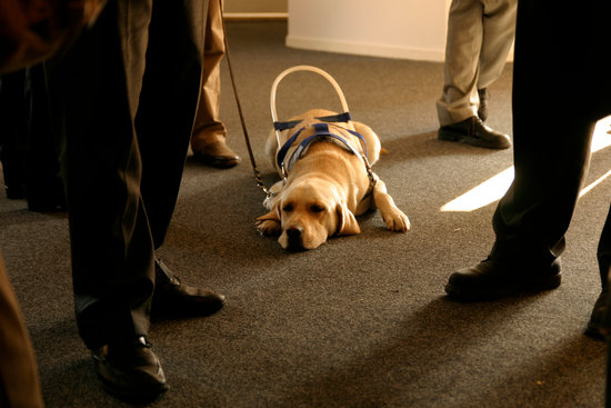 Seeing eye lab with a guide dog harness laying on a floor with well dressed people all around