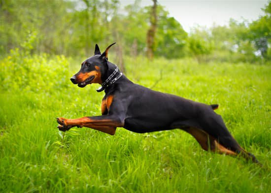 Doberman pinscher leaping through tall grass fields