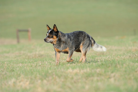 Australian Cattle dog looking focused in a field of grass