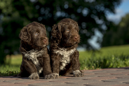 Two Brown Puppies Sitting On Brick in front of the lawn