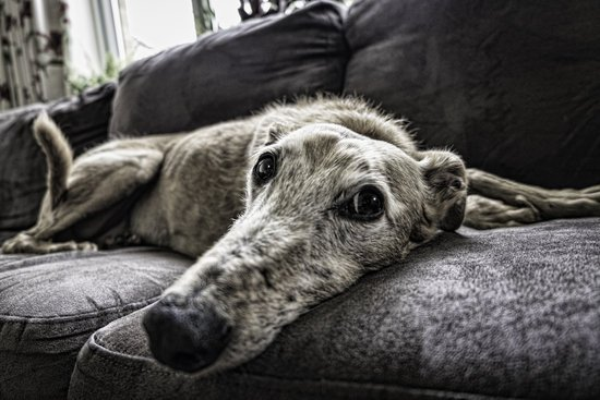 Greyhound on a couch with chronic hip dysplasia
