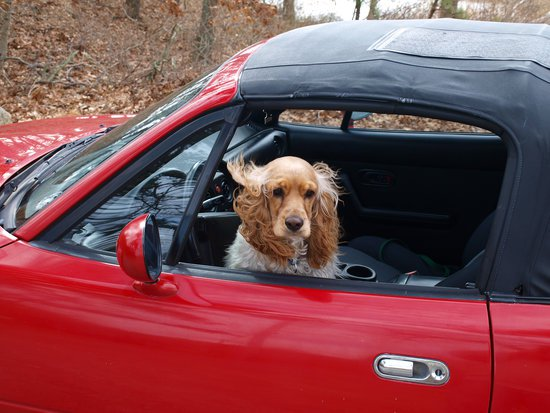 White and brown spaniel with its head outside the window of a red convertible
