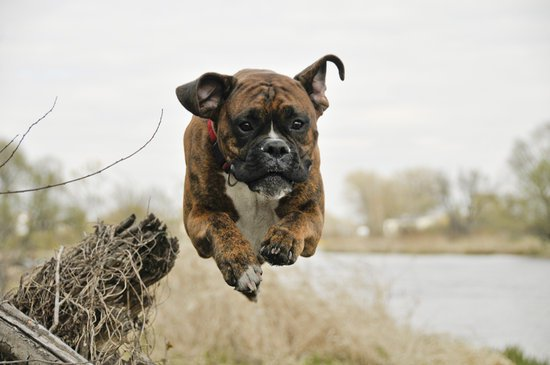 Boxer jumping over some dead shrubbery with a red collar on