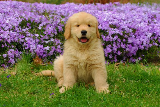 Golden Retriever Puppy in front of purple flowers