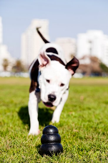 Pit bull playing with a puzzle toy in a grass field