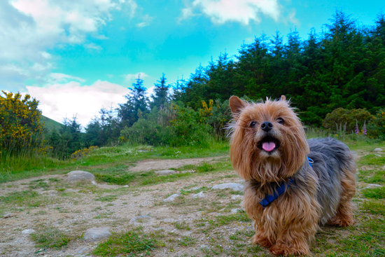 Yorkie with a blue collar looking happy on a mountain hiking trail