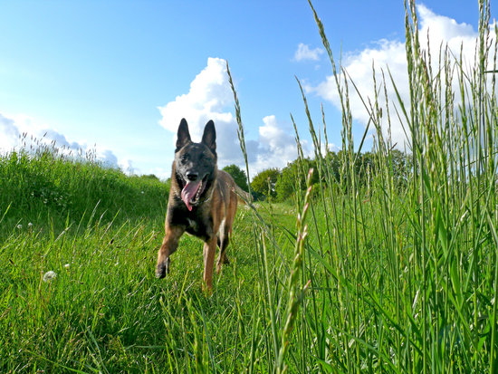 Belgian Malinois on a green spring day