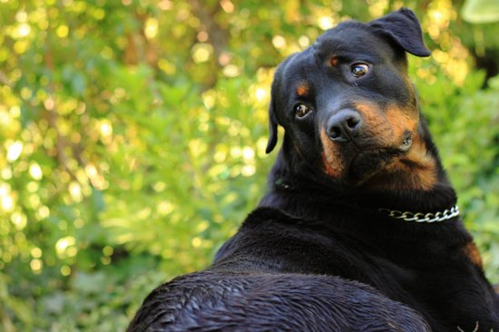 Rottweilers are one of the best police dog breeds