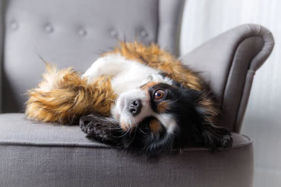 Cocker spaniel laying on a sofa upside down