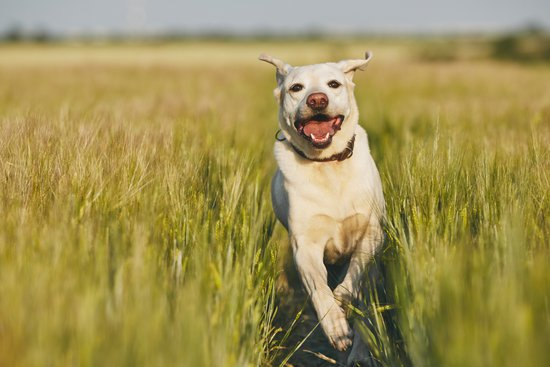 White Lab Running Through Tall Grass On A Sunny Day