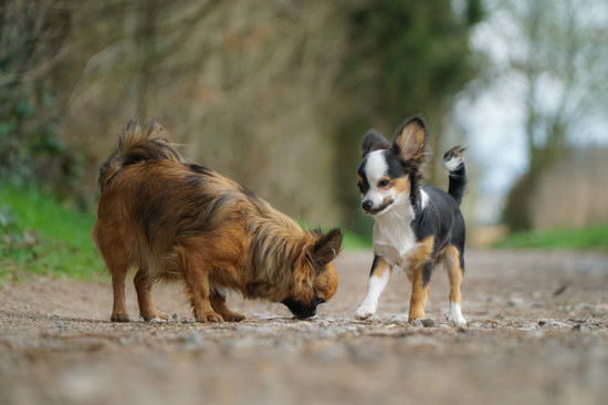 Two Chihuahuas on a gravel road