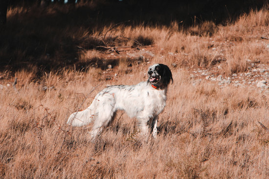 Brittany Dog in tall grass during the winter