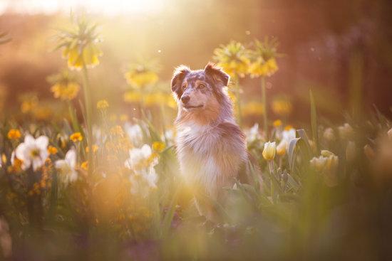 Australian Shepherd in a field of flowers