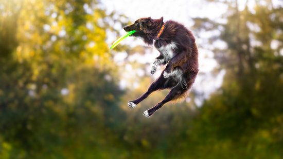 Australian shepherd jumping in the air catching a frisby