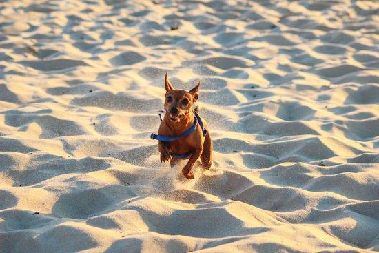 Chihuahua running through a desert sands