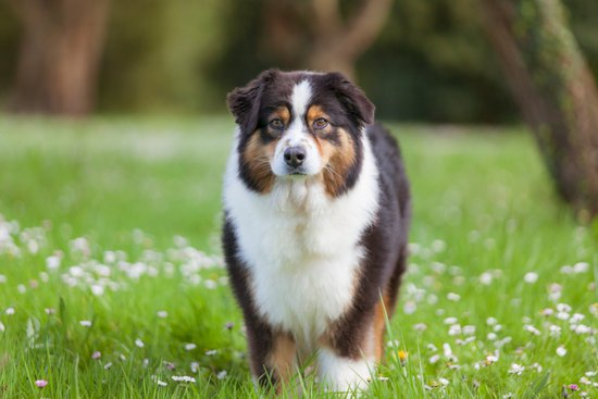 Chocolate Australian shepherd standing in grass and flowers next to a tree