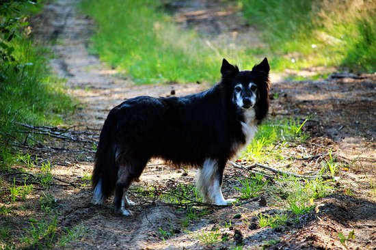 Old dog limping on a walk due to chronic hip dysplasia