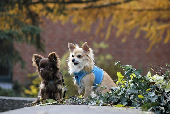 Two long haired Chihuahuas in vests sitting on a garden ledge