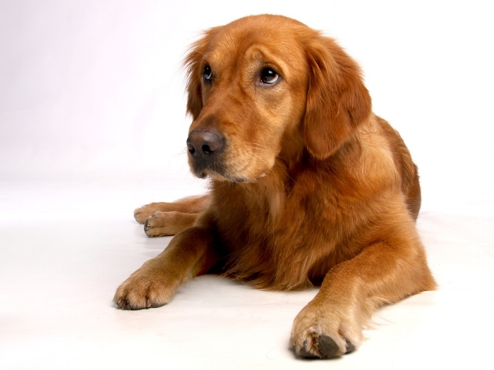 Golden Retrievers are one of the best service dog breeds