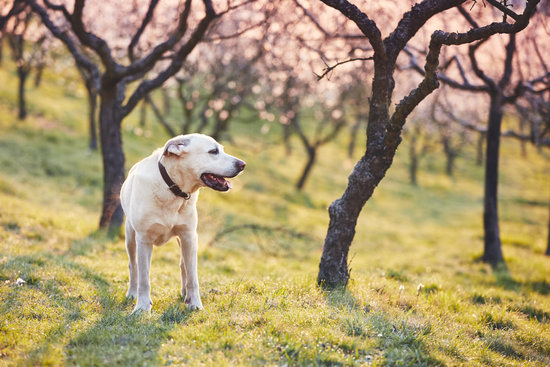 White lab with cherry blossom trees all around