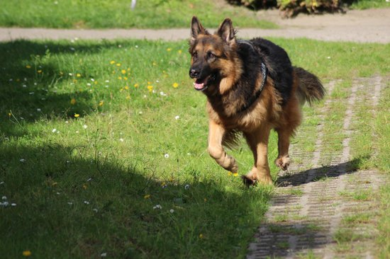 German shepherds are some of the best police dog breeds