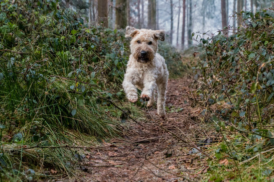 Goldendoodle running through thick brush to their owner