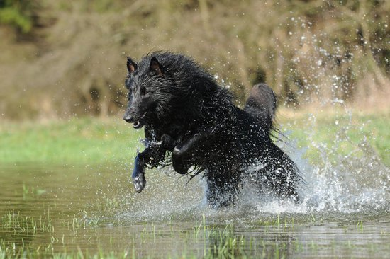 Long Haired Black Dog Running Through Water On A Hot Day