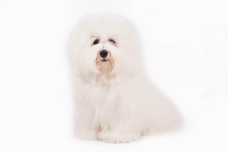Coton De Tulear Hypoallergenic Dog