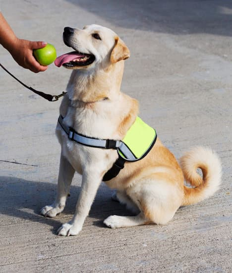Service dog in a yellow vest sniffing an apple