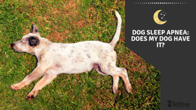 Dog Sleep Apnea: Does my dog have it?