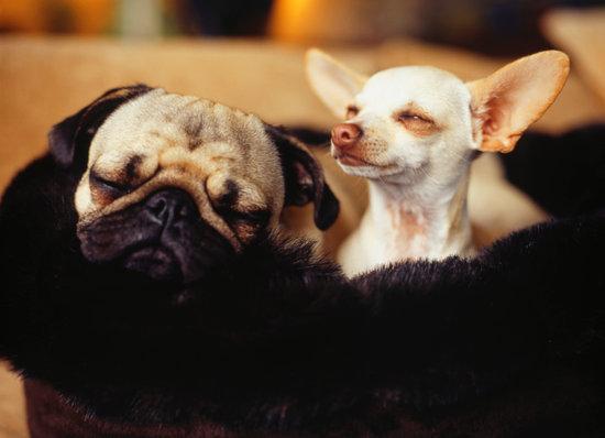 sleepy chihuahua with sleep apnea