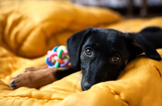 Black dog on a yellow bed with their toy next to them